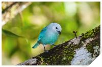 blue gray tanager on a branch, Print