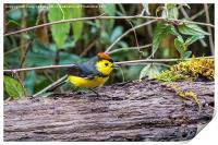 tiny bird - a collared redstart, Print
