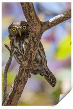 costa rican pygmy owl, Print