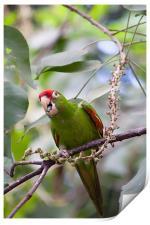 crimson fronted Parakeet, Print