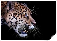 Jaguar snarling Paintover, Print