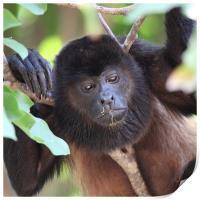 Congo monkey resting in tree, Print