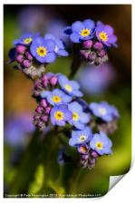 Forget me not, Print