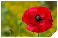 Poppy against Yellow background, Print