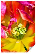 Tulip close up, Print