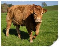 Limousin Cow, Print
