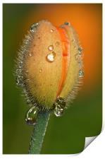 Poppy drops, Print