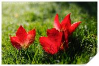 Beautiful Red Autumn / Fall Leaves, Print