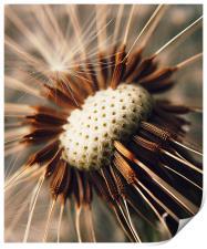 Dandelion Seedhead Macro., Print