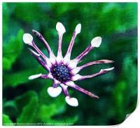 Osteospermum Florals., Print