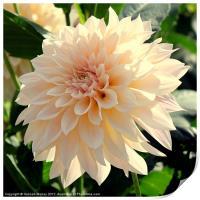 Beautiful Cream Dahlia Flower, Print