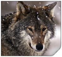 Wolf, Print