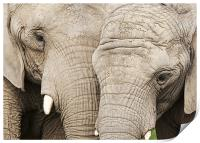 Elephants, Print