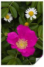 Wild rose, Print
