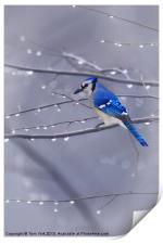 BLUE JAY IN THE RAIN, Print