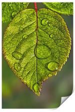 Raindrops On A Leaf, Print