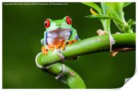 Red Eyed Tree Frog, Print