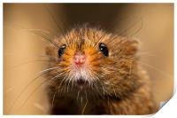 Harvest Mouse Close Up, Print