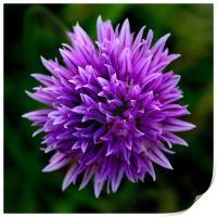 Chive Flower Macro, Print