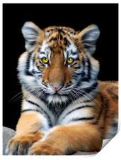 Sumatran Tiger, Print