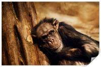 Chimpanzee, Print
