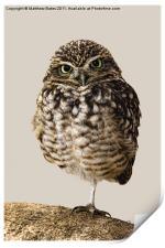 Little Owl (Athene Noctua), Print