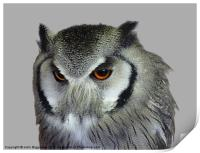 Southern white-faced owl, Print