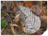 Autumnal Leaves., Print