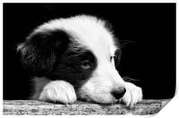 Sheepdog puppy looking out, Print