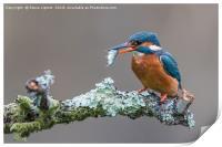Common kingfisher (Alcedo atthis), Print