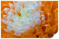 Orange Dahlia, Print