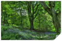 Billinge Woods Bluebells, Print