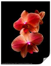 Pink  Orchids on black background, Print