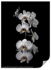 White Dendrobium Orchid Canvas & prints, Print