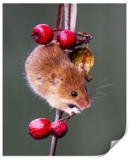 Harvest Mouse, Print