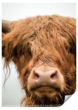 Highland Cow, Bad Hair Day, Print
