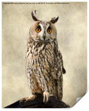 Birds Of Prey. Long Eared Owl, Print