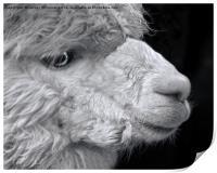 Alpaca, Print