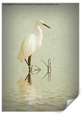 Little Egret, Print