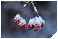 Snowy Rosehip, Print