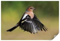 Chaffinch in flight, Print