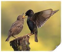 Starlings, Print