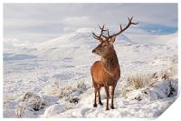 Deer Stag in the snow, Print