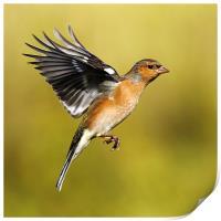 Chaffinch in flight, Print