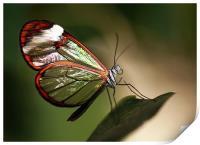 Glasswing Butterfly, Print