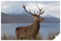 Red Deer Stag in Winter, Print