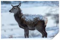 Red Deer Hind In The Snow, Print