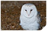 A Small Barn Owl (Tyto Alba), Print
