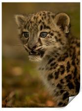 Snow Leopard Cub, Print