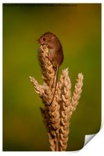 Harvest Mouse 3, Print